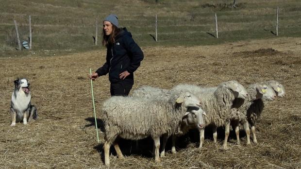 delo psov z ovcami, šola psov za zganjanje ovc, sheepdog, sheepdog toys, kmetijski zavod bric